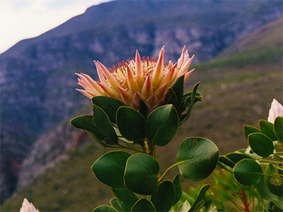 Protea Flower Cape Town The Study Abroad Journal